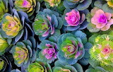^ Mix of Ornamental Cabbage