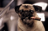 Famous-dogs-men-in-black-frank-the-pug