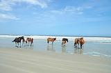 Wild Horses on Cumberland Island Beach Georgia USA