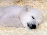 polar baby bear