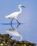 Snowy Egret At Low Tide