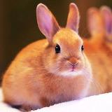 *Netherland Dwarf Rabbit...