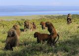 Baboon Family ~ Lake Nakuru