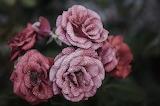 Rose-flower-pink-floral-39476