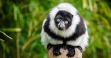 Lémurien de Madagascar -1-