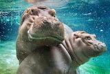 River Hippos...