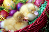 EasterDucklings