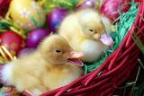 EasterDucklings