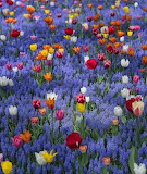 ^ Tulips and Grape Hyacinths