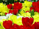 ^ Red, yellow, white tulip close up