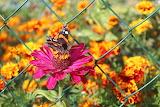 Zinnia, butterfly, marigold, flowers, net, garden