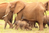 Tsavo Elephant with Calf