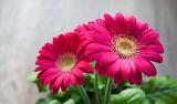^ Pink gerbera