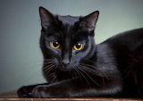 Cats - Black with Gold eyes