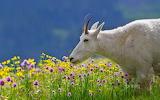 goat in a flower field