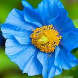 Blue Poppy...