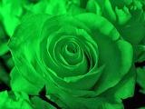 lovely green rose