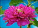 Pink Zinnia...
