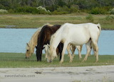 northern herd, Assateague Island