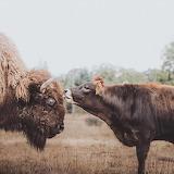 Buffalo & Bestie