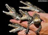 krokodylci - online jigsaw puzzle - 63 pieces