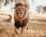 Els lleons de p5A - online jigsaw puzzle - 20 pieces