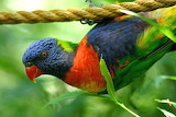 rainbow lorikeet - online jigsaw puzzle - 40 pieces