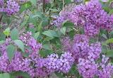 Lilacs - online jigsaw puzzle - 77 pieces