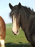 Clydesdale Mare - online jigsaw puzzle - 20 pieces