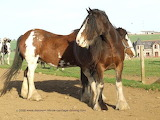 Clydesdales - online jigsaw puzzle - 35 pieces